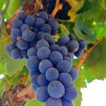 immagini di vino